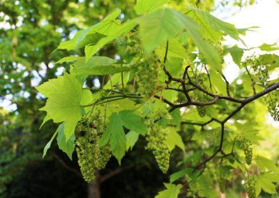 Connaissance et reconnaissance des arbres et arbustes