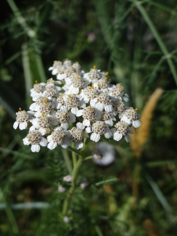 Achillée mille feuilles – Achillea millefolium