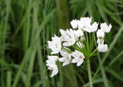 Ail de Naples – Allium neaplitanum