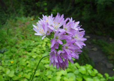 Ail rosé – Allium roseum