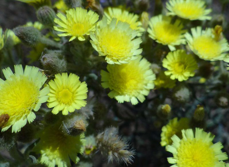 Andryale sinueuse – Andryala integrifolia