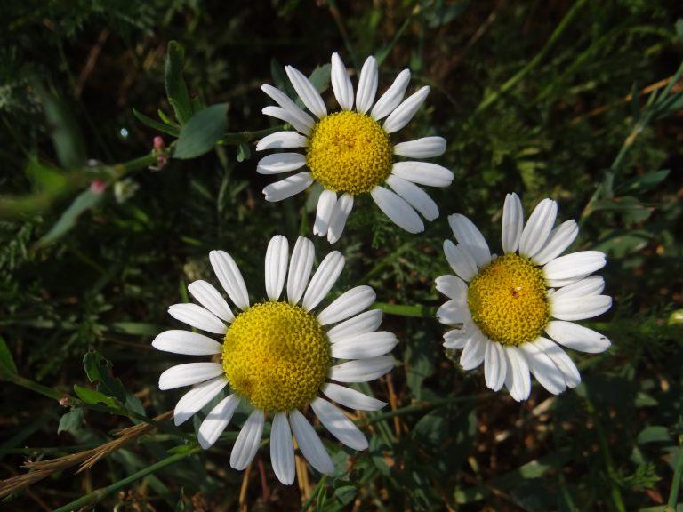 Anthémis des champs – Anthemis arvensis