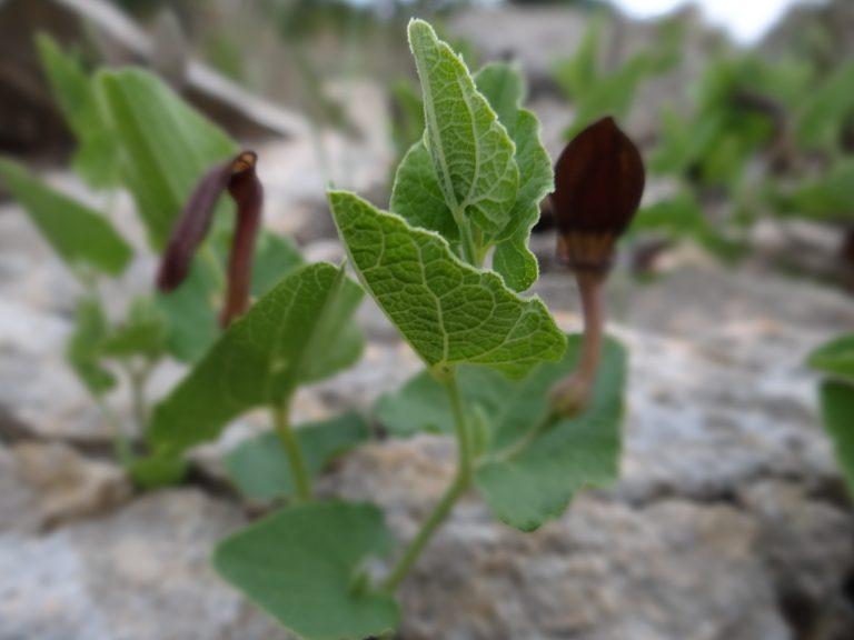 Aristoloche pistoloche – Aristolochia pistolochia