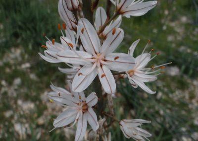 Asphodèle cerise – Asphodelus cerasiferus