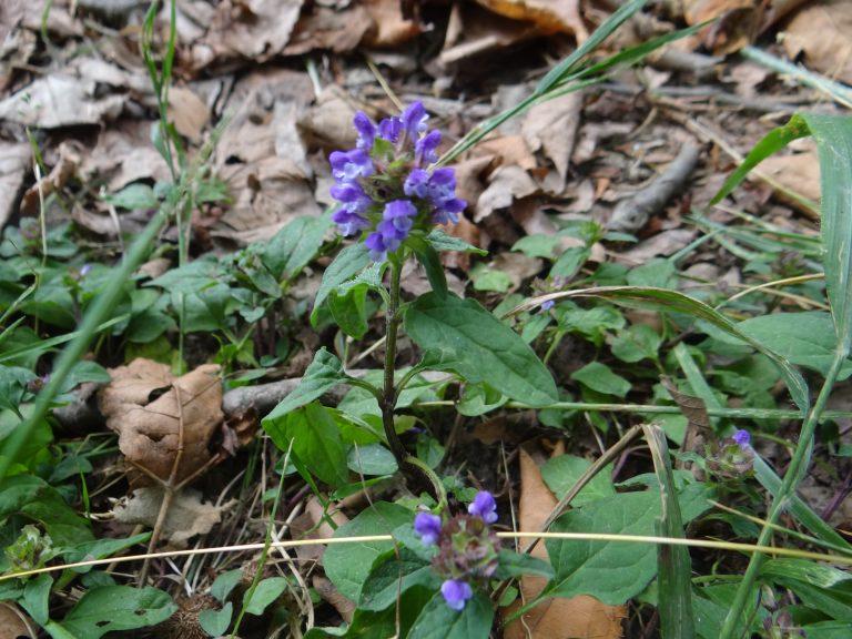 Brunelle commune – Prunella vulgaris