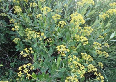 Buplèvre arbustif – Bupleurum fruticosum