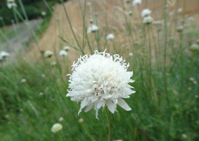 Céphalaire à fleurs blanches – Cephalaria leucantha