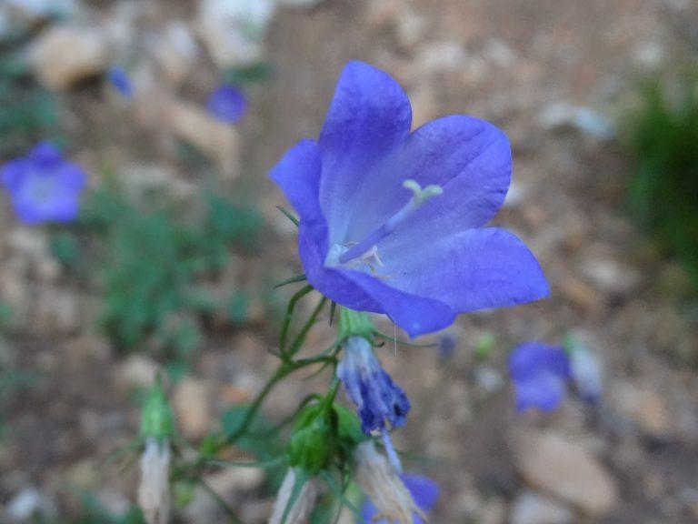 Flore de l 39 aude 11 - Campanule a feuilles rondes ...