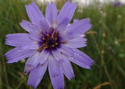 Catananche bleue – Catananche caerulea