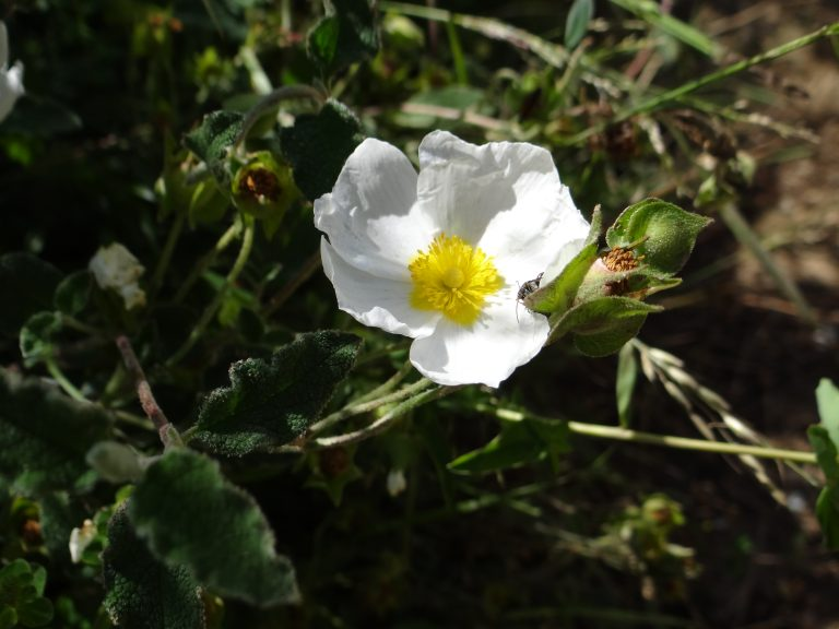 Ciste à feuilles de sauge – Cistus salviifolius