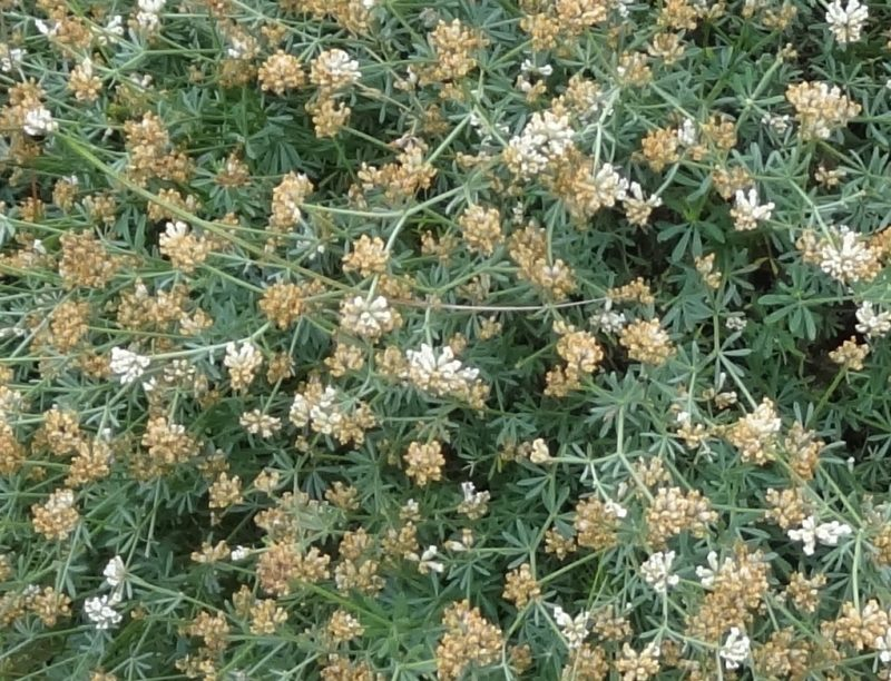 Dorycnie à 5  feuilles – Dorycnium pentaphyllum