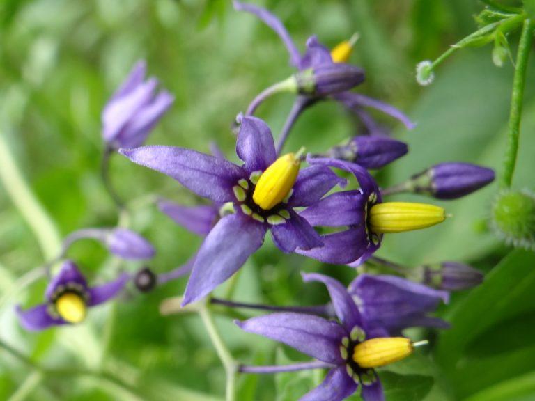 Douce amère – Solanum dulcamara