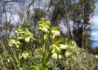 Hellébore fétide – Helleborus foetidus