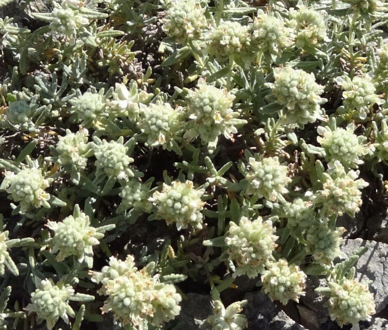 Germandrée blanc-grisâtre – Teucrium polium