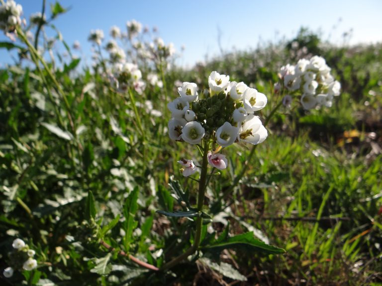 Fausse roquette – Diplotaxis erucoides