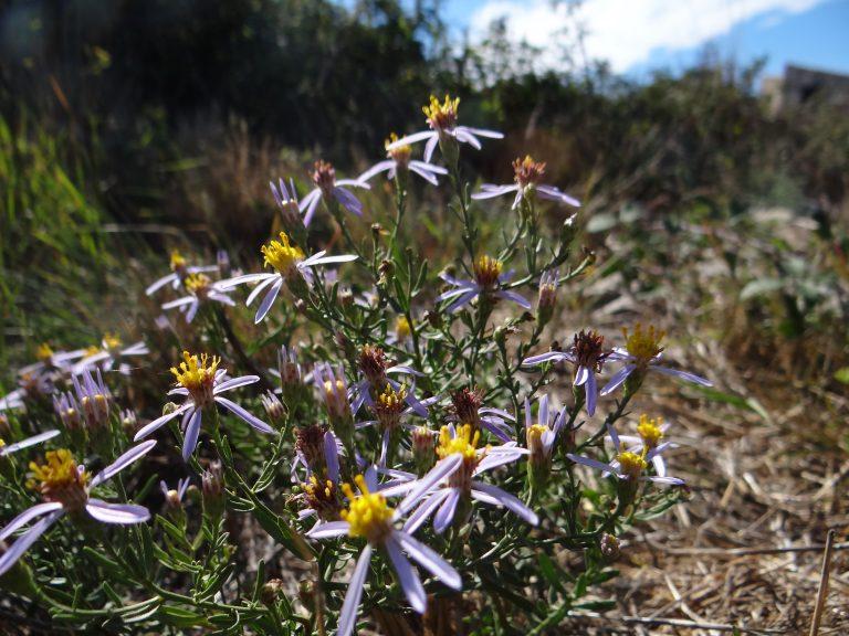 Aster acre – Galatella sedifolia