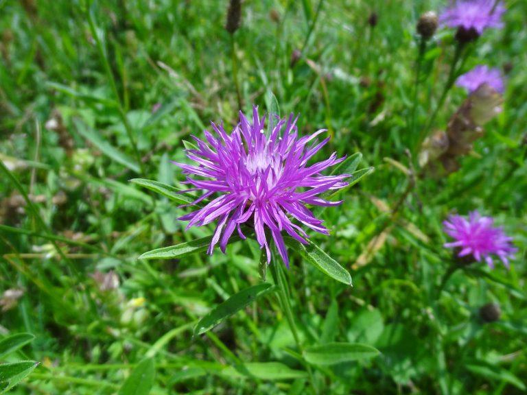 Centaurée jacée – Centaurea jacea