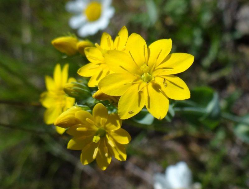 Centaurée jaune Chlore perfoliée – Blackstonia perfoliata