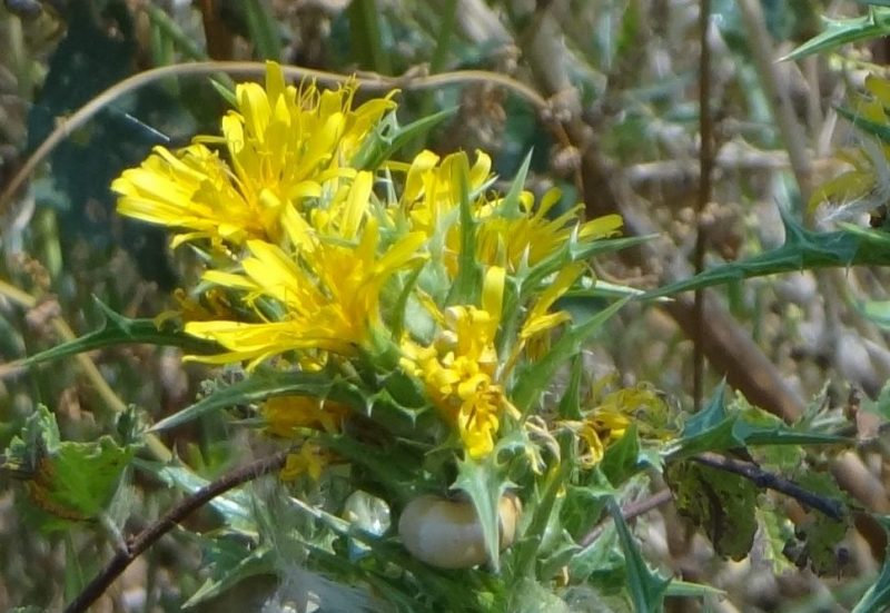 Chardon d'Espagne – Scolymus hispanicus