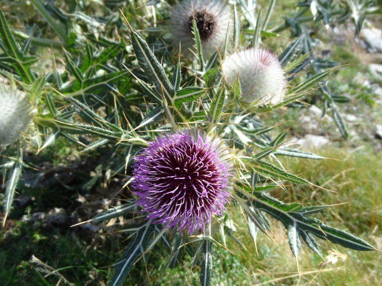 Cirse laineux – Cirsium eriophorum