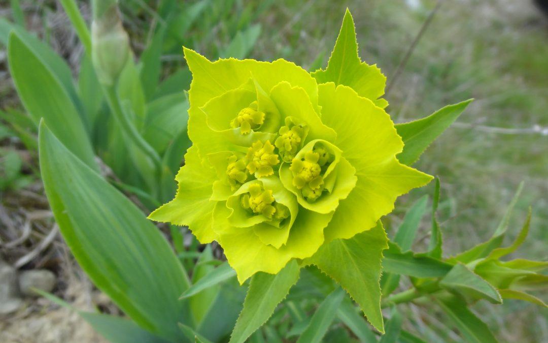 Euphorbe dentée – Euphorbia serrata.