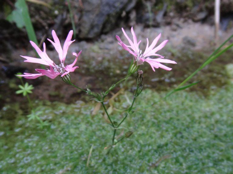 Lychnis à fleur de coucou – Lychnis flos cuculi