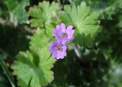 Géranium des Pyrénées – Geranium pyrenaicum
