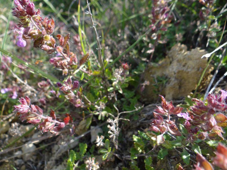 Germandrée petit chêne – Teucrium chamaedrys