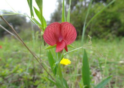 Gesse chiche – Lathyrus cicera