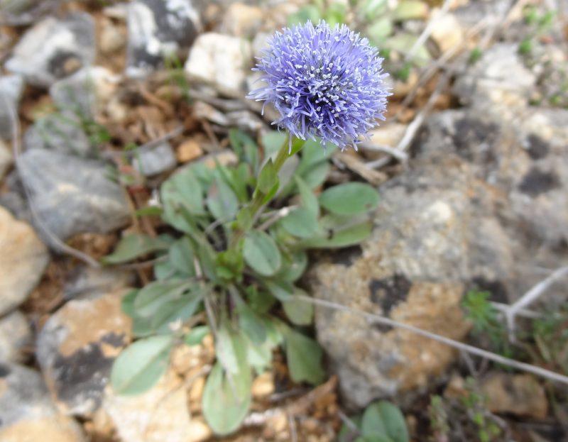 Globulaire commun – Globularia vulgaris.