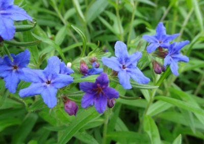 Grémil pourpre bleu – Lithospermum purpurocaeruleum