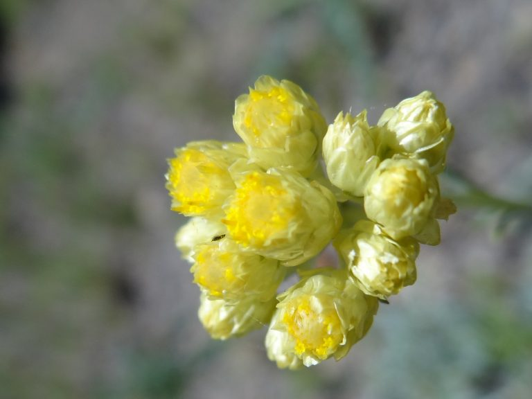 Immortelle commune- Helichrysum stoechas