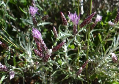 Herbe aux pinceaux – Staehelina dubia