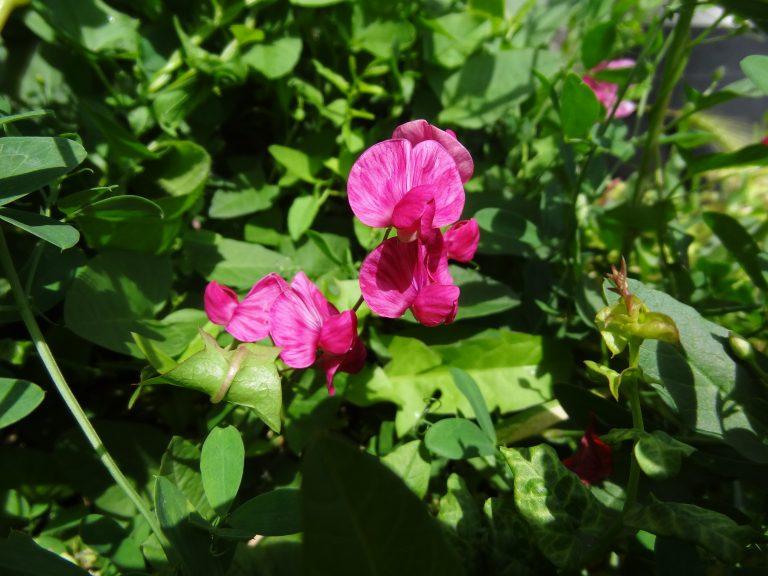 Gesse tubéreuse – Lathyrus tuberosus