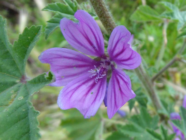 Mauve Sylvestre – Malva sylvestris