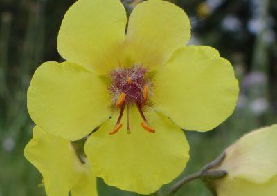 Molène blattaire – Verbascum blattaria