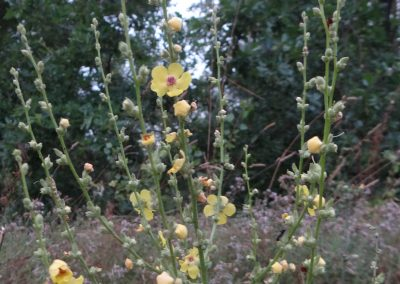 Molène sinuée – Verbascum sinuatum