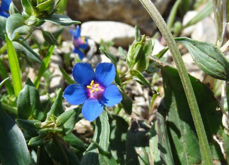 Mouron femelle – Lysimachia foemina