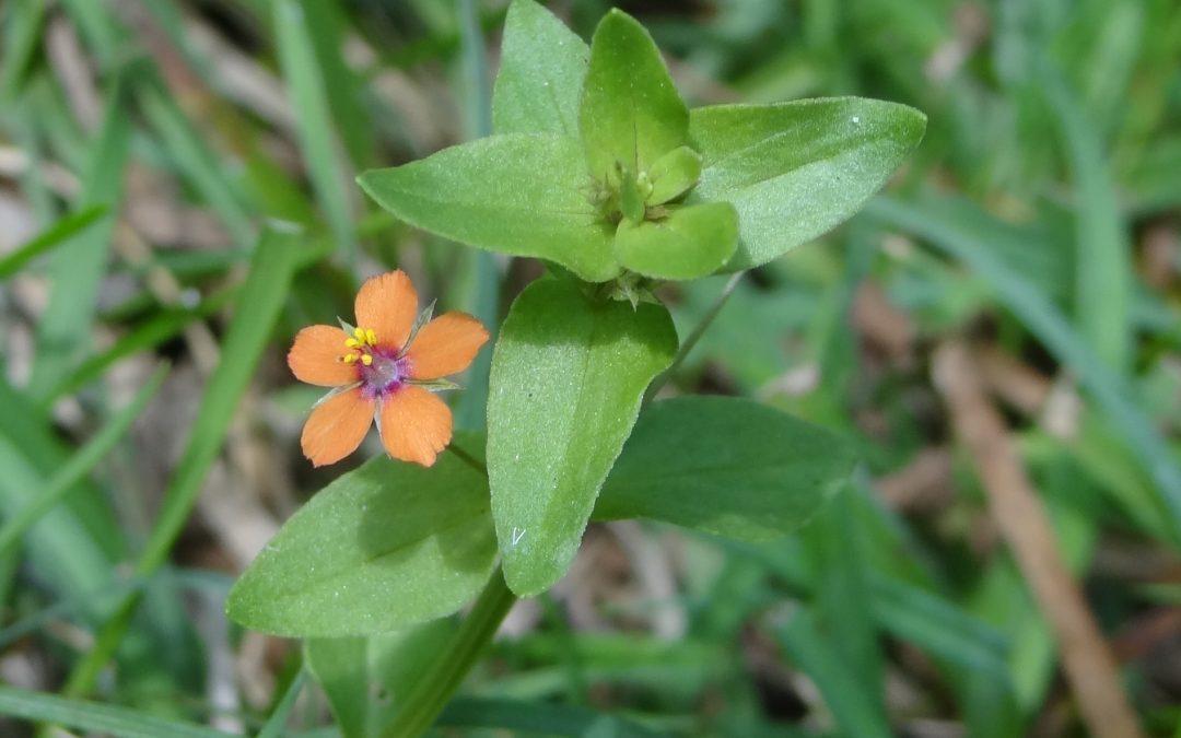 Mouron des champs Mouron rouge- Lysimachia arvensis