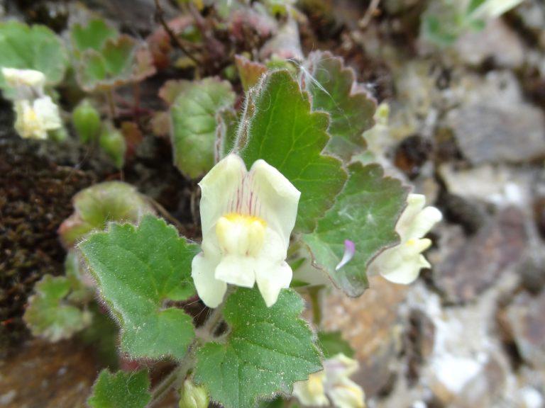 Muflier à feuille molle – Anthirrhinum molle
