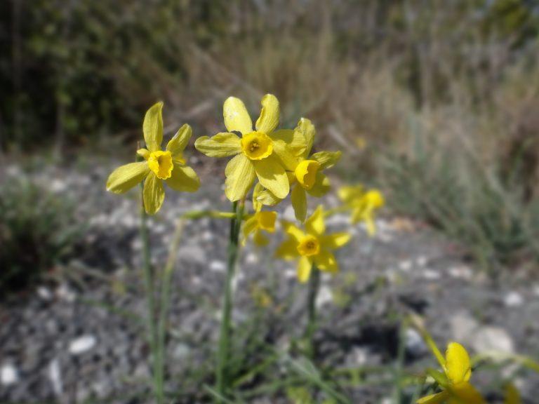 Narcisse d'Asso – Narcissus assoanus