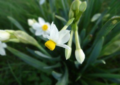 Narcisse des poètes – Narcissus poeticus
