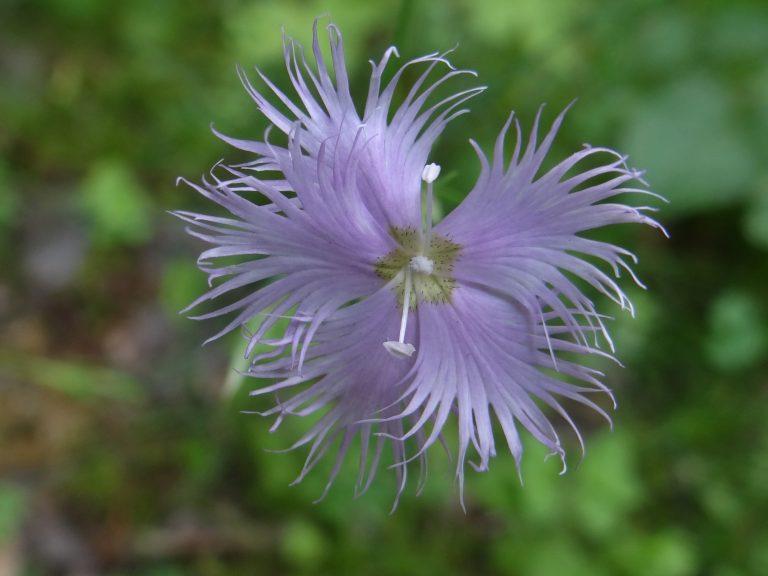 Oeillet superbe – Dianthus superbus