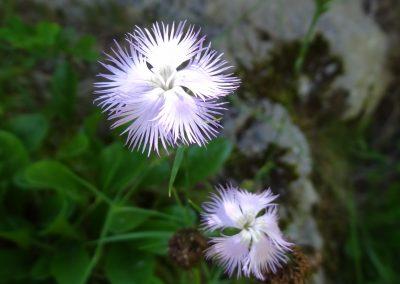 Oeillet de Montpellier – Dianthus hyssopifolius