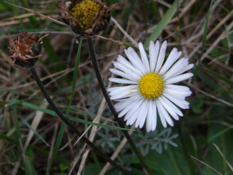 Pâquerette d'automne – Bellis sylvestris Cirillo