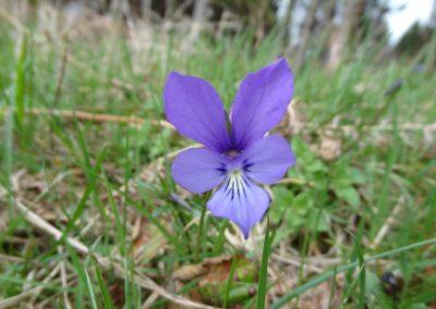 Pensée à cornes – Viola cornuta