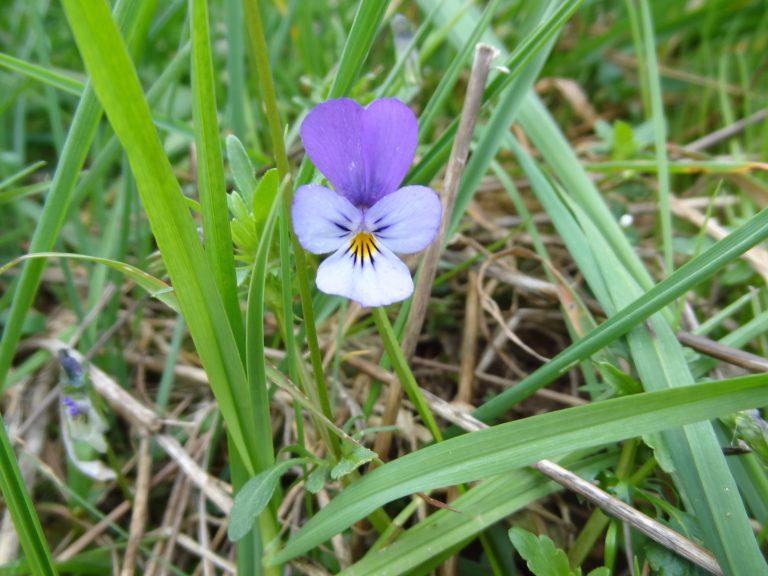 Pensée sauvage – Viola tricolor
