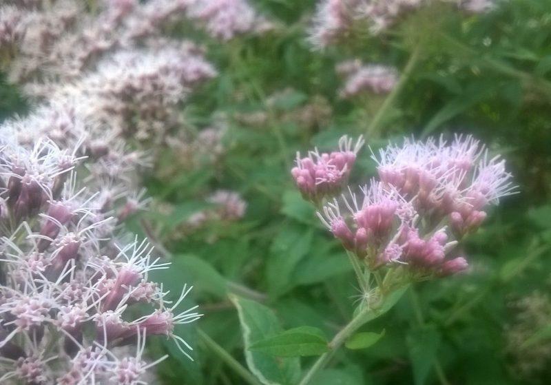 Eupatoire chanvrine – Eupatorium cannabinum