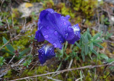 Iris des garrigues – Iris lutescens