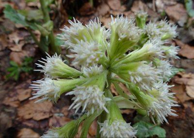 Pétasite blanc – Petasites albus